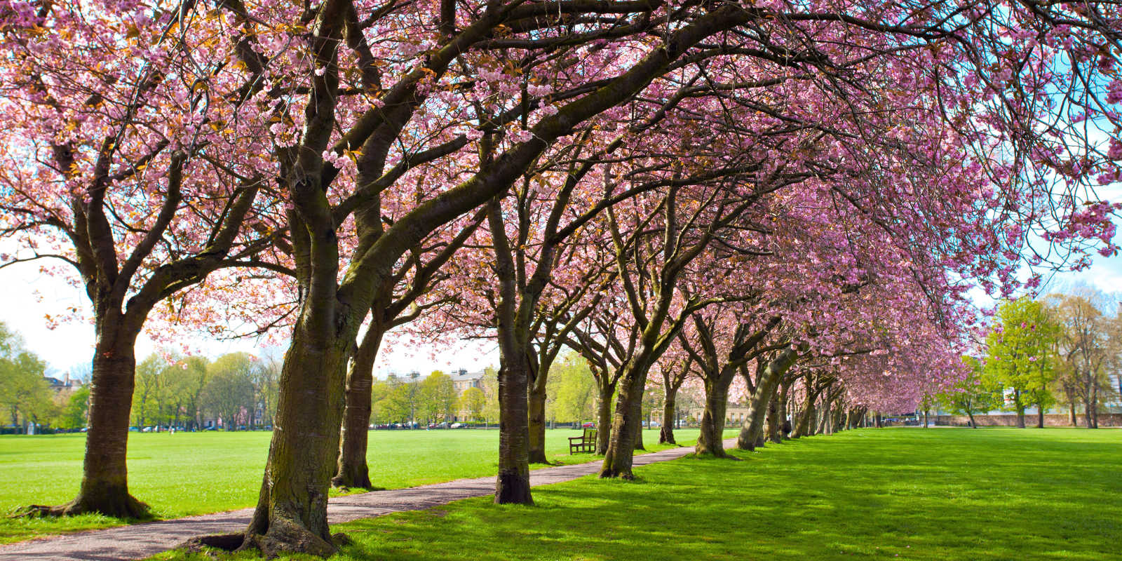 Pink blossom trees in The Meadows Edinburgh