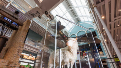 Dolly the Sheep in the Science and Technology galleries at the National Museum of Scotland