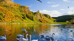 Swans on loch on a sunny day at Holyrood Park